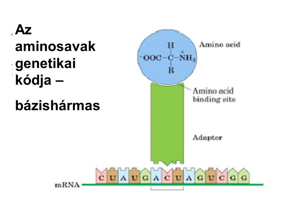 Az aminosavak genetikai kódja –