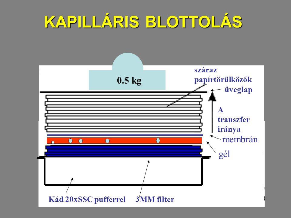 KAPILLÁRIS BLOTTOLÁS 0.5 kg membrán gél A transzfer iránya