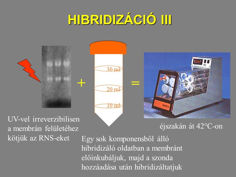 HIBRIDIZÁCIÓ III 10 ml. 20 ml. 30 ml. UV-vel irreverzibilisen a membrán felületéhez kötjük az RNS-eket.