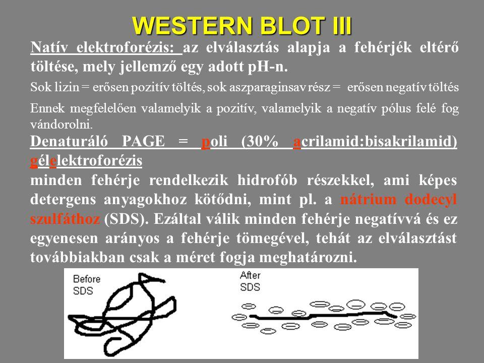WESTERN BLOT III Natív elektroforézis: az elválasztás alapja a fehérjék eltérő töltése, mely jellemző egy adott pH-n.