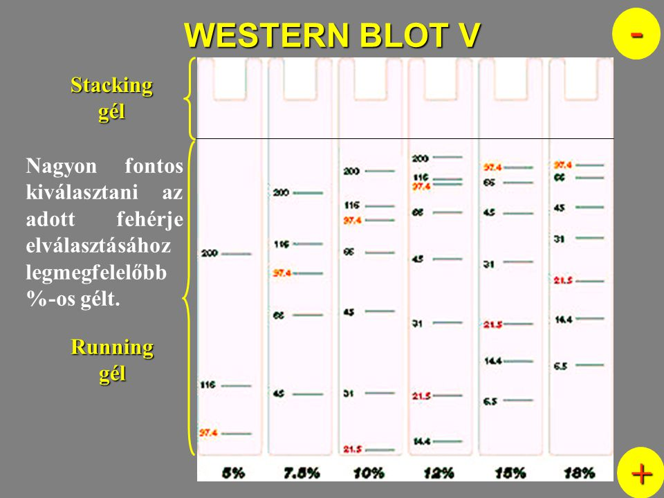 - + WESTERN BLOT V Stacking gél