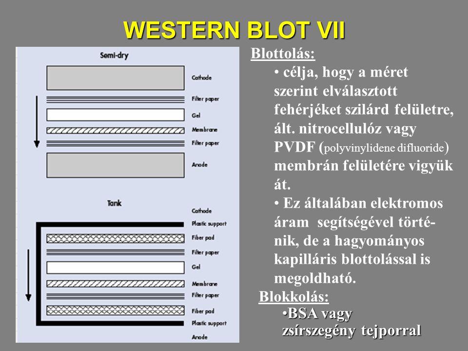 WESTERN BLOT VII Blottolás: