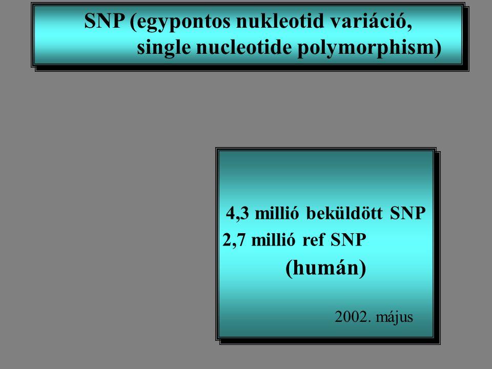 SNP (egypontos nukleotid variáció, single nucleotide polymorphism)