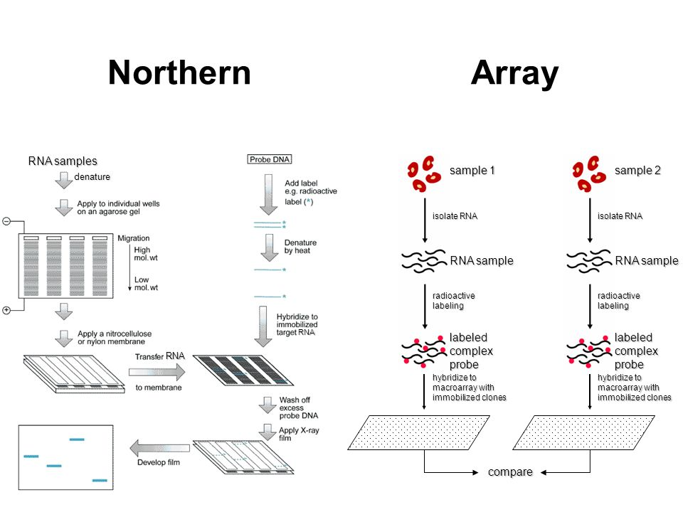 Northern Array RNA samples RNA sample sample 1 labeled complex probe