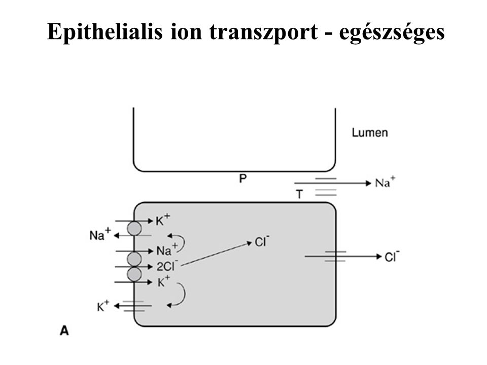 Epithelialis ion transzport - egészséges