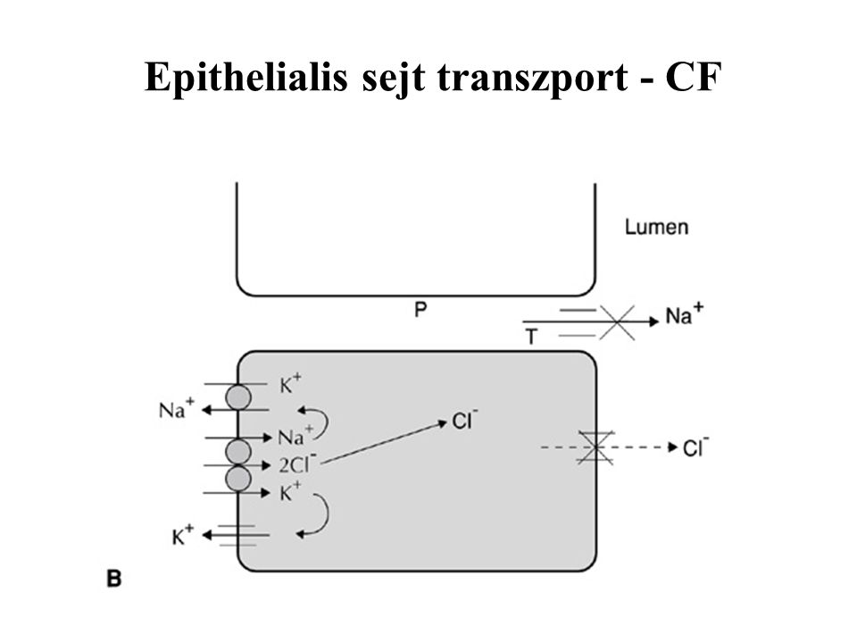 Epithelialis sejt transzport - CF