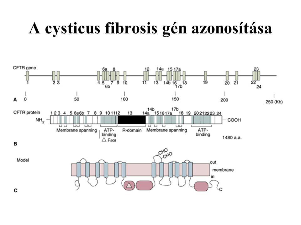 A cysticus fibrosis gén azonosítása