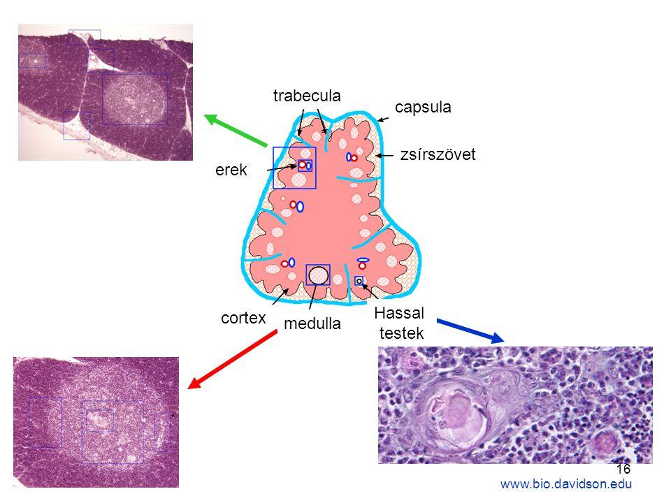 trabecula capsula zsírszövet erek Hassal cortex medulla testek