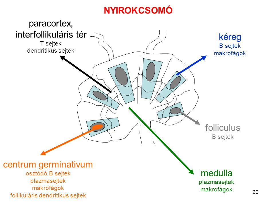 paracortex, interfollikuláris tér