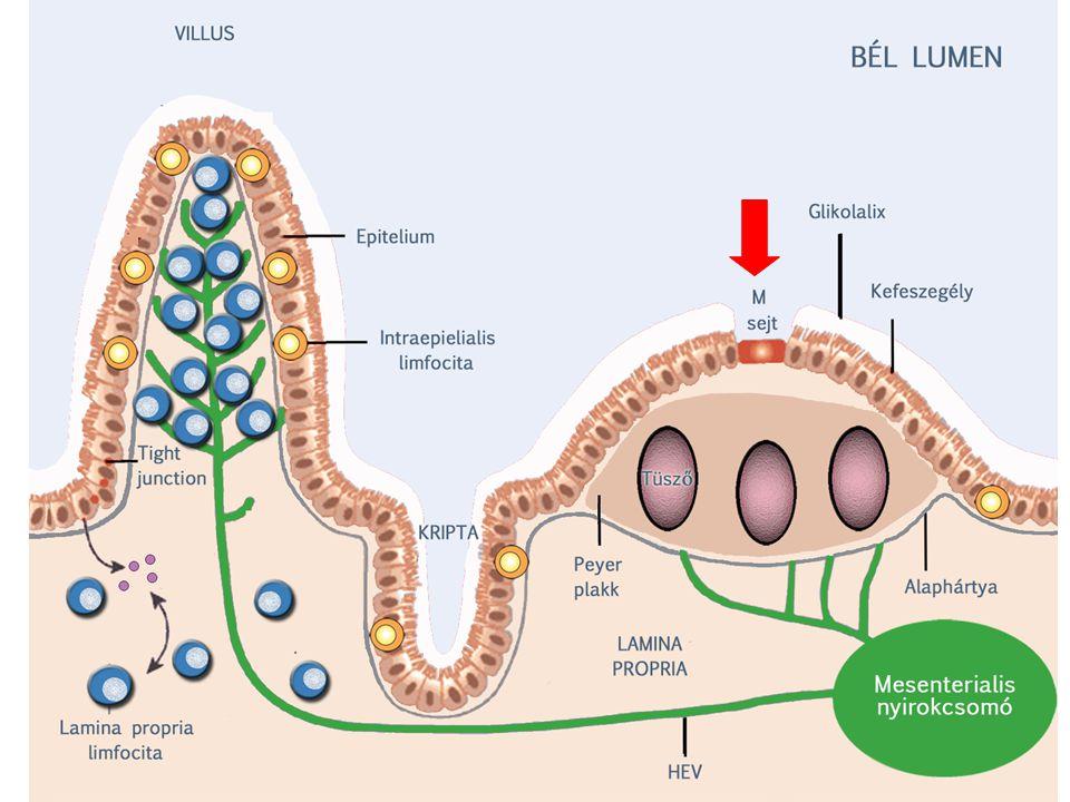 Dendritikus sejtek!