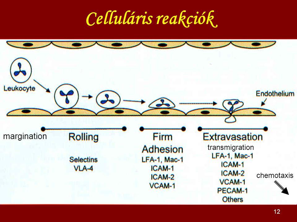Celluláris reakciók margination transmigration chemotaxis