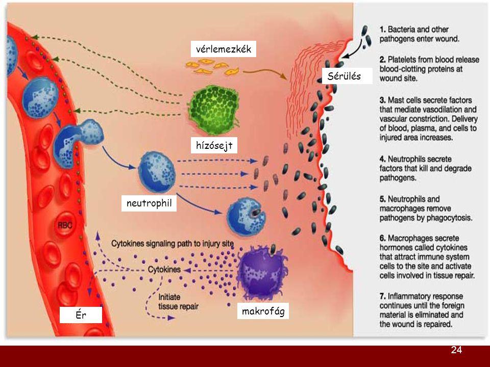 vérlemezkék Sérülés hízósejt neutrophil makrofág Ér