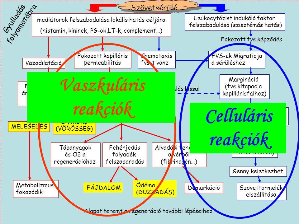 Vaszkuláris reakciók Celluláris reakciók