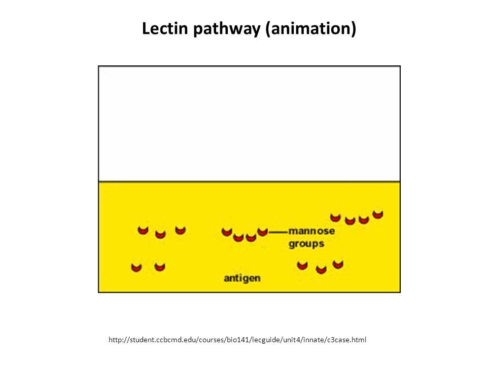 Lectin pathway (animation)