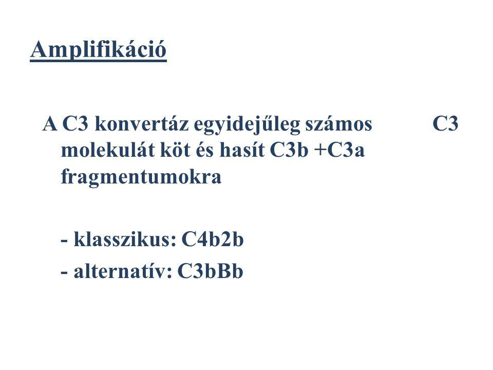 Amplifikáció A C3 konvertáz egyidejűleg számos C3 molekulát köt és hasít C3b +C3a fragmentumokra.