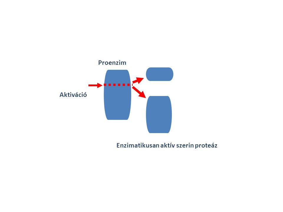 Proenzim Aktiváció Enzimatikusan aktív szerin proteáz