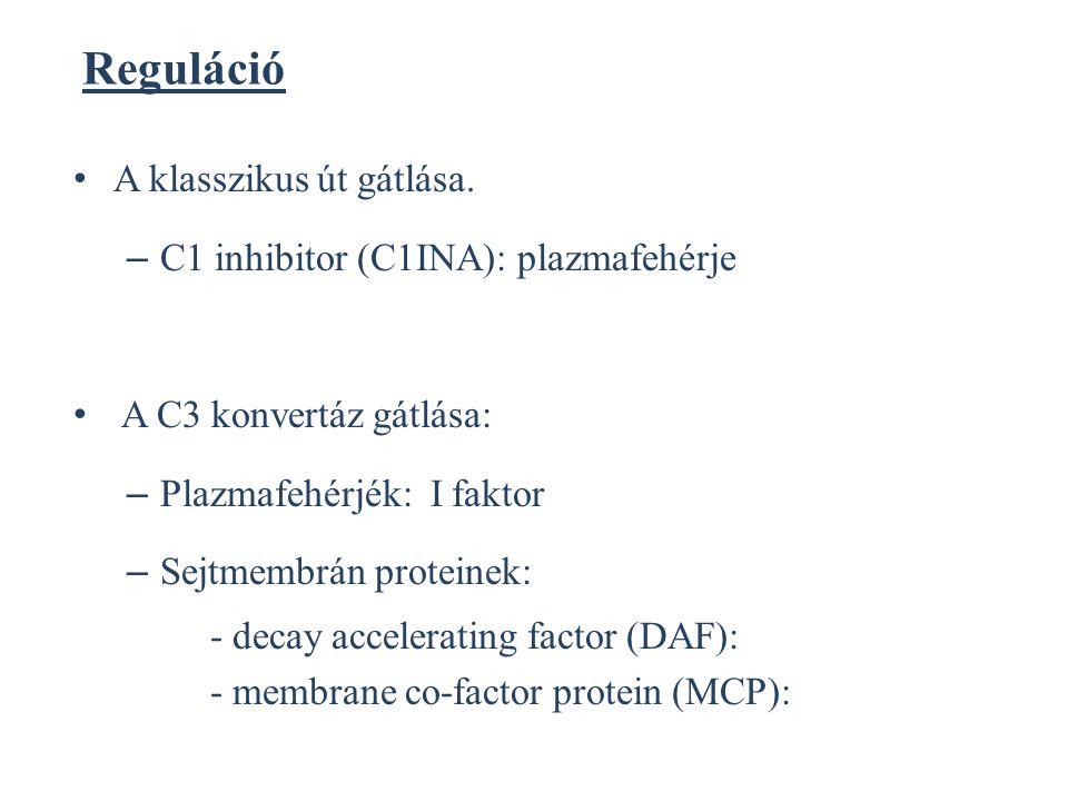 Reguláció A klasszikus út gátlása. C1 inhibitor (C1INA): plazmafehérje