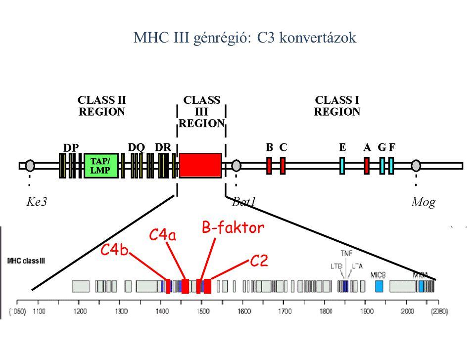 MHC III génrégió: C3 konvertázok