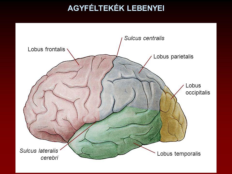 AGYFÉLTEKÉK LEBENYEI Sulcus centralis Lobus frontalis Lobus parietalis