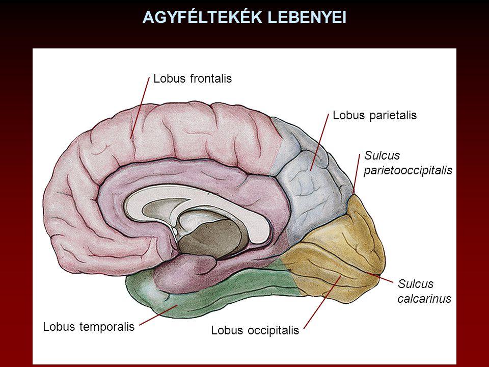 AGYFÉLTEKÉK LEBENYEI Lobus frontalis Lobus parietalis Sulcus