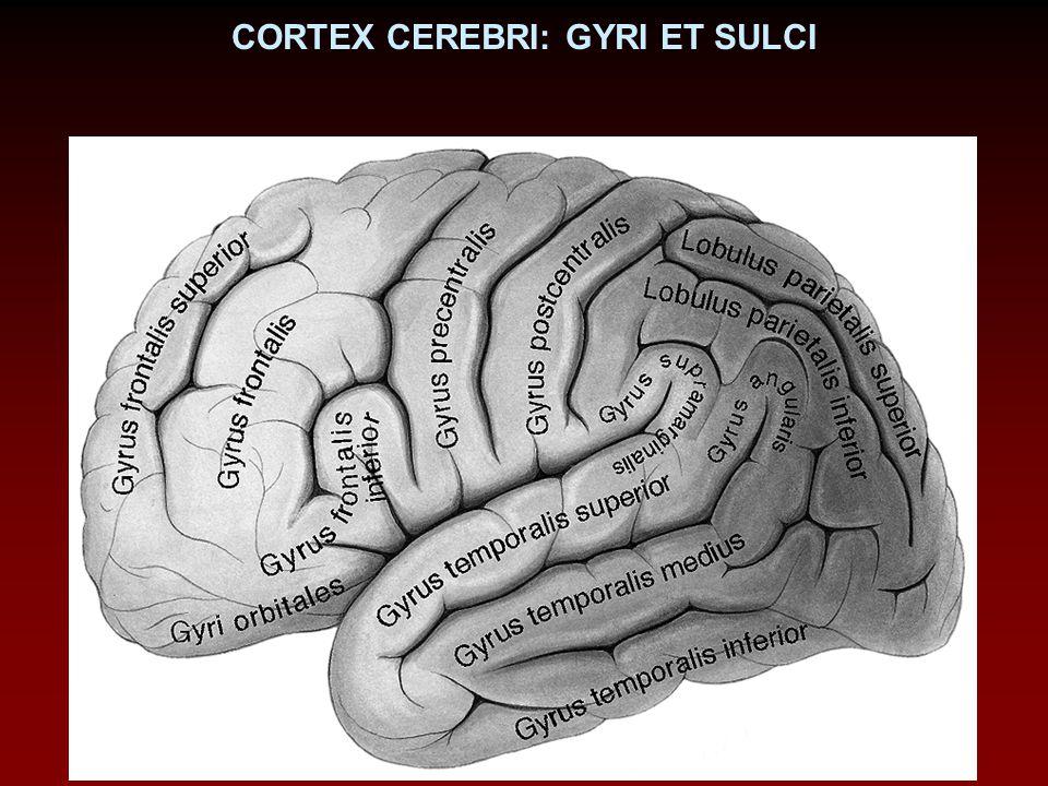 CORTEX CEREBRI: GYRI ET SULCI