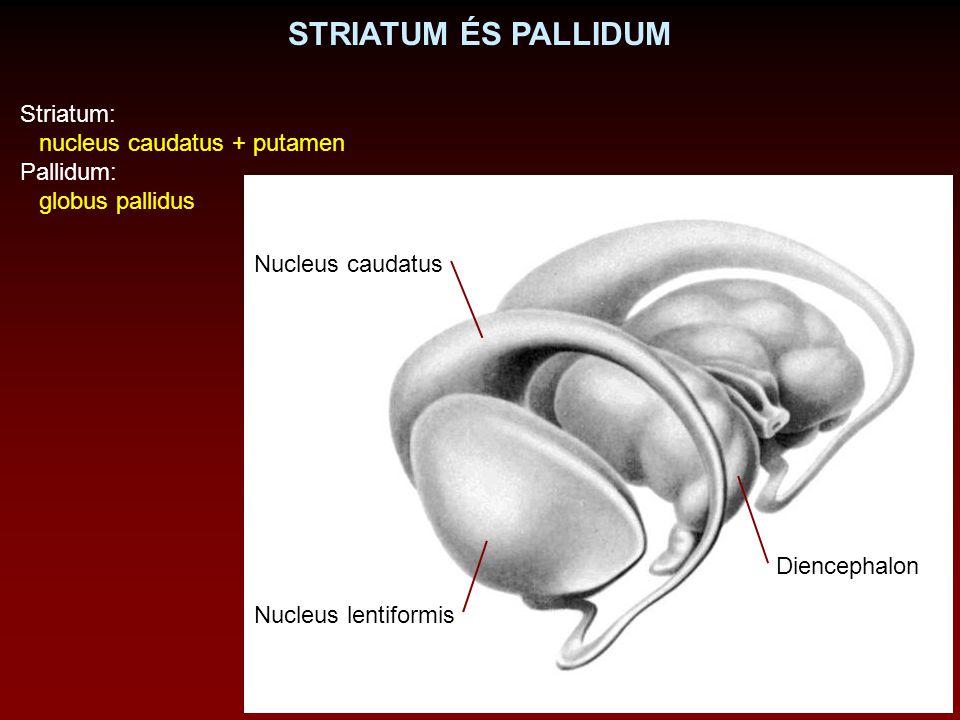 STRIATUM ÉS PALLIDUM Striatum: nucleus caudatus + putamen Pallidum: