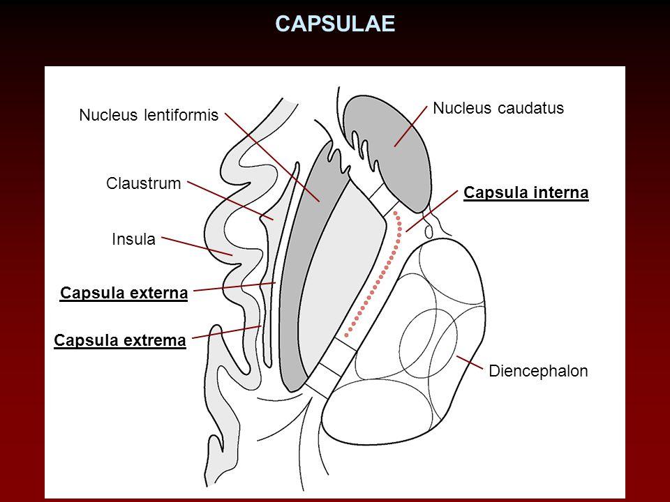 CAPSULAE Nucleus caudatus Nucleus lentiformis Claustrum