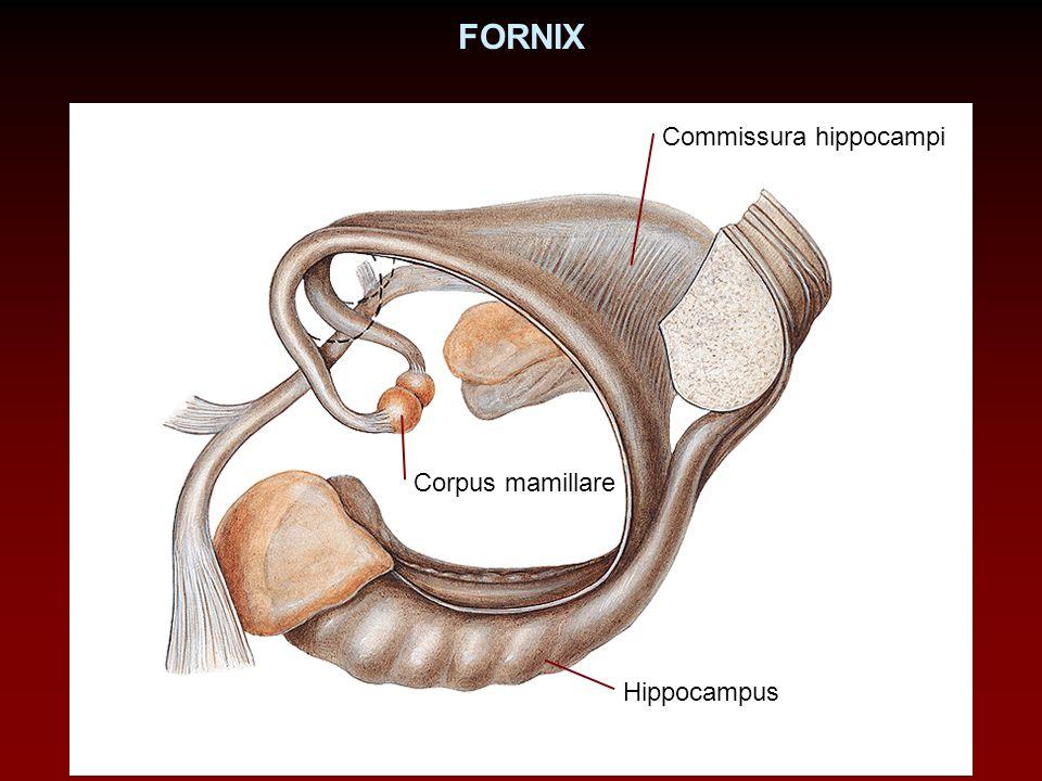 FORNIX Commissura hippocampi Corpus mamillare Hippocampus