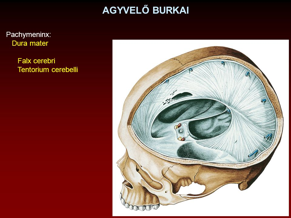 AGYVELŐ BURKAI Pachymeninx: Dura mater Falx cerebri