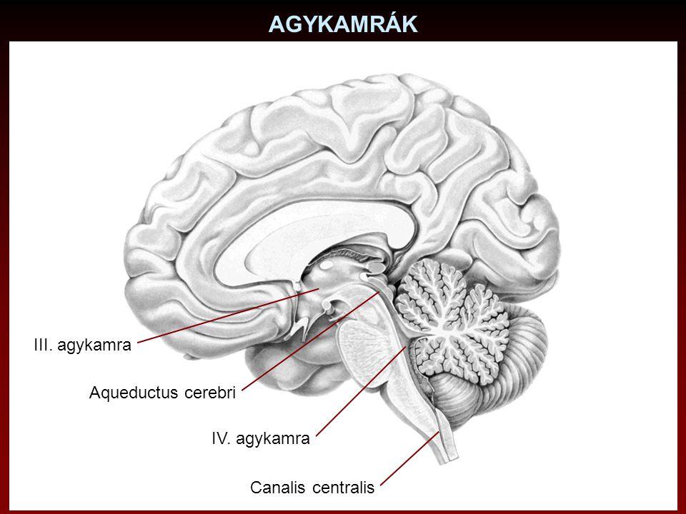 AGYKAMRÁK III. agykamra Aqueductus cerebri IV. agykamra