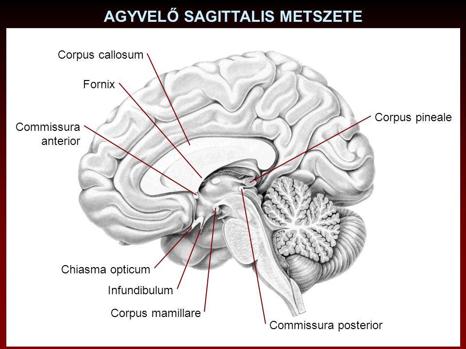 AGYVELŐ SAGITTALIS METSZETE