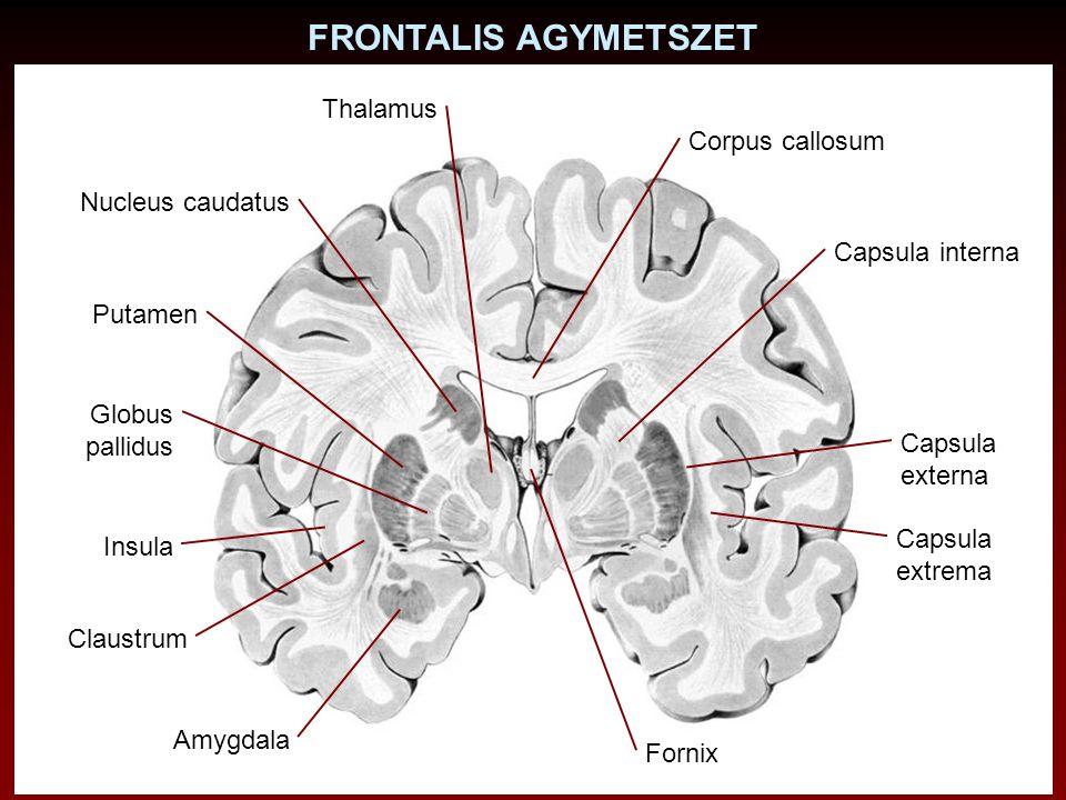 FRONTALIS AGYMETSZET Thalamus Corpus callosum Nucleus caudatus