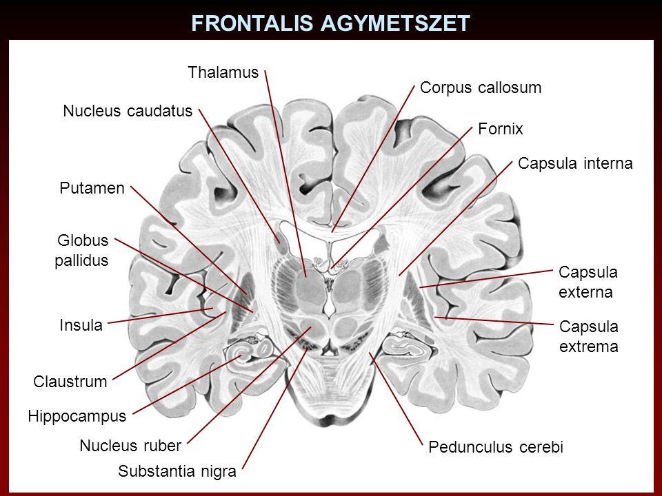 FRONTALIS AGYMETSZET Thalamus Corpus callosum Nucleus caudatus Fornix