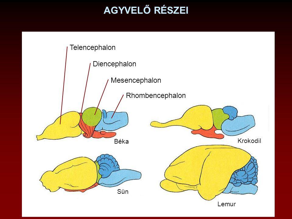AGYVELŐ RÉSZEI Telencephalon Diencephalon Mesencephalon