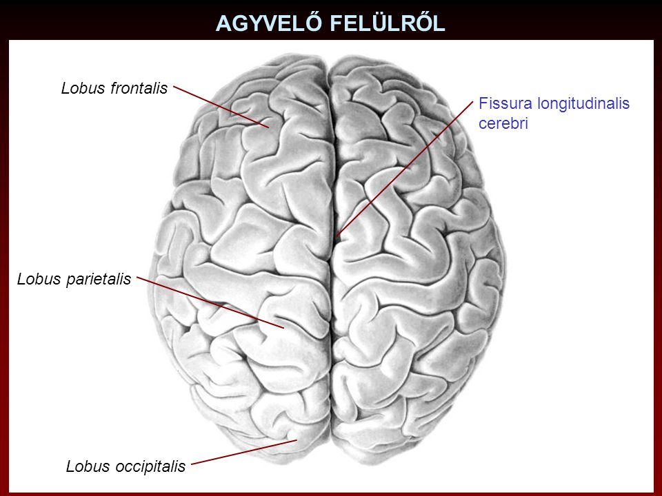 AGYVELŐ FELÜLRŐL Lobus frontalis Fissura longitudinalis cerebri