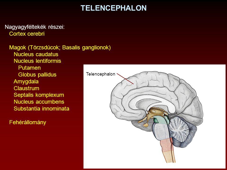 TELENCEPHALON Nagyagyféltekék részei: Cortex cerebri