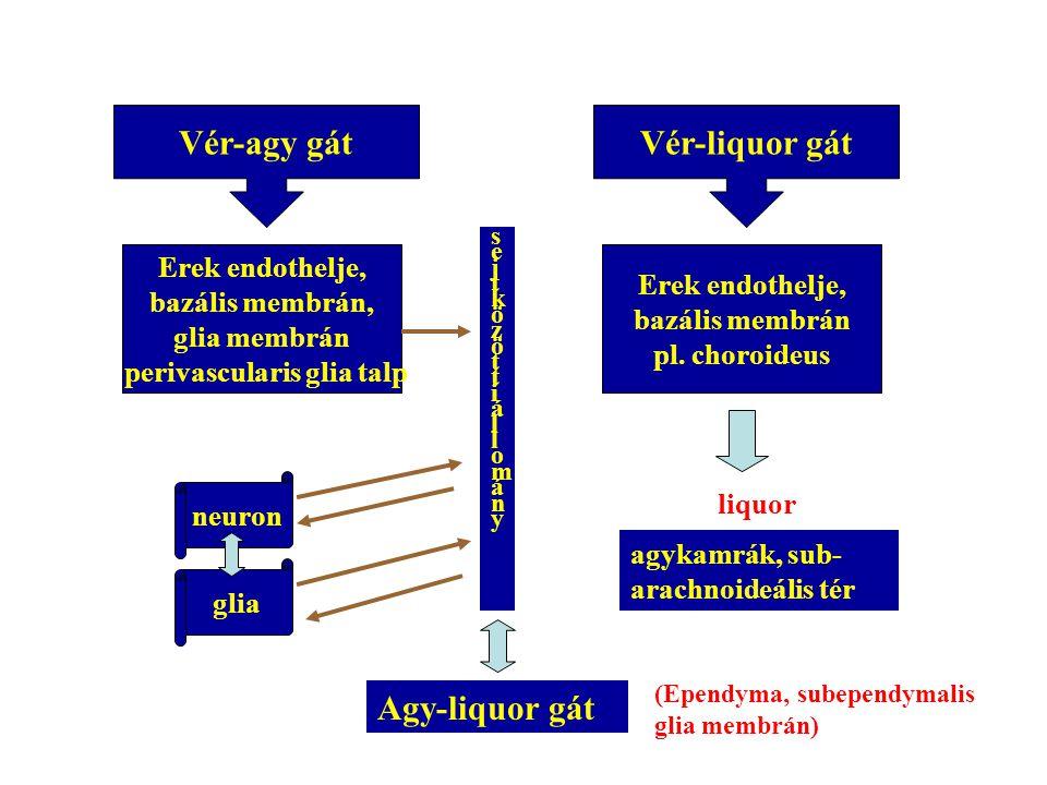 perivascularis glia talp