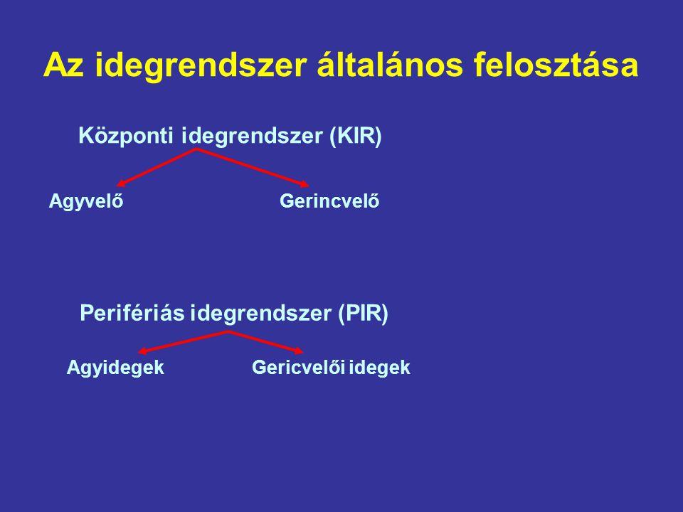 Az idegrendszer általános felosztása