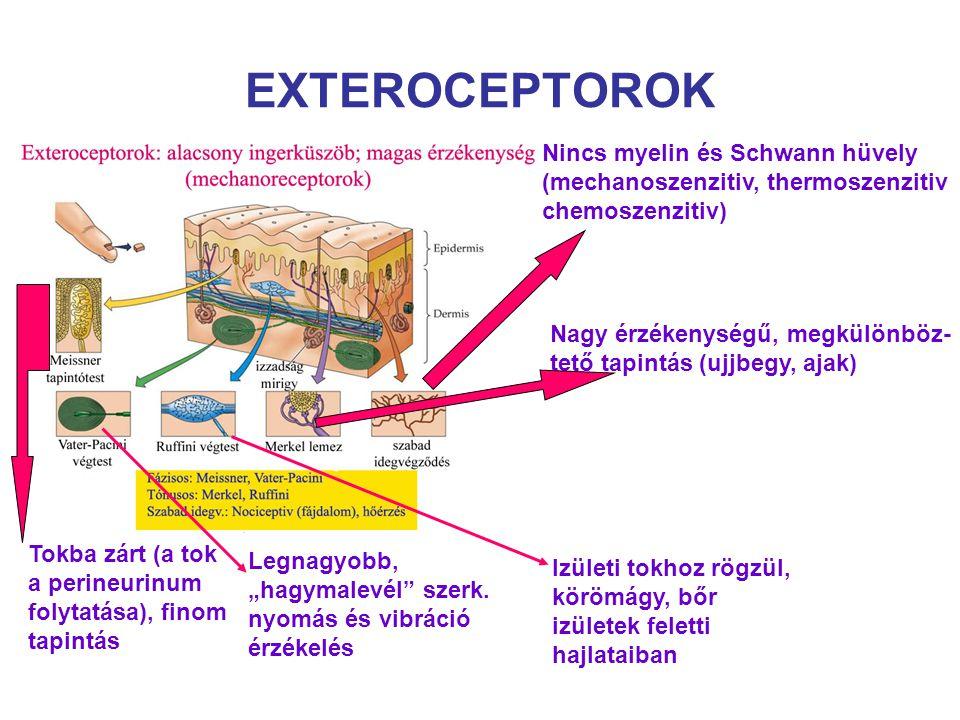 EXTEROCEPTOROK Nincs myelin és Schwann hüvely (mechanoszenzitiv, thermoszenzitiv chemoszenzitiv)