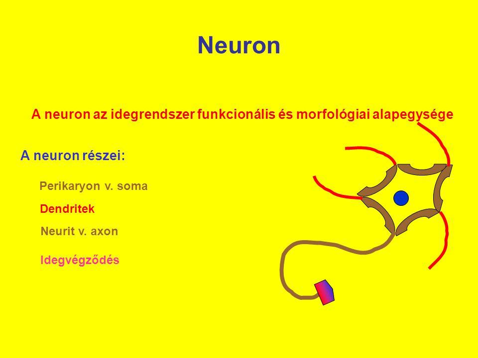 A neuron az idegrendszer funkcionális és morfológiai alapegysége