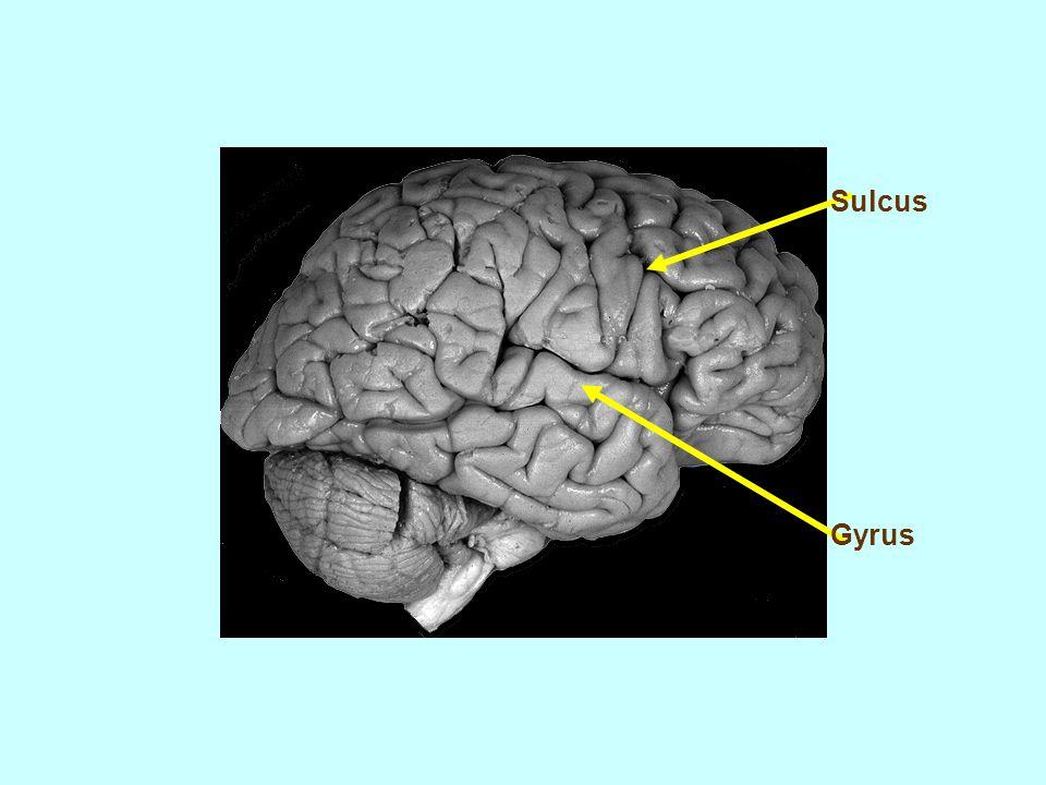 Sulcus Gyrus