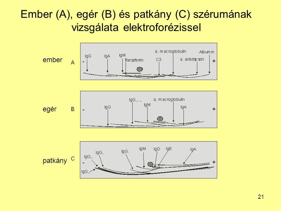 Ember (A), egér (B) és patkány (C) szérumának