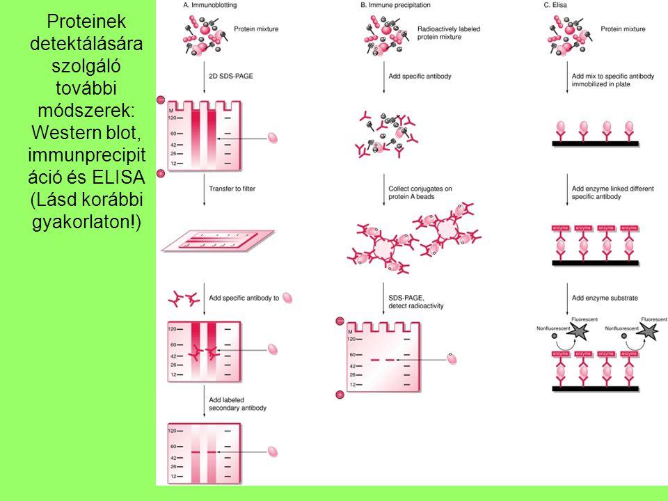 Proteinek detektálására szolgáló további módszerek: Western blot, immunprecipitáció és ELISA (Lásd korábbi gyakorlaton!)