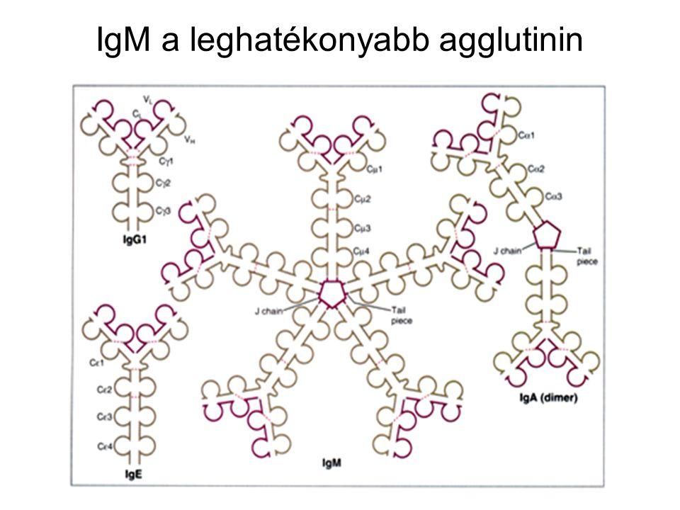 IgM a leghatékonyabb agglutinin