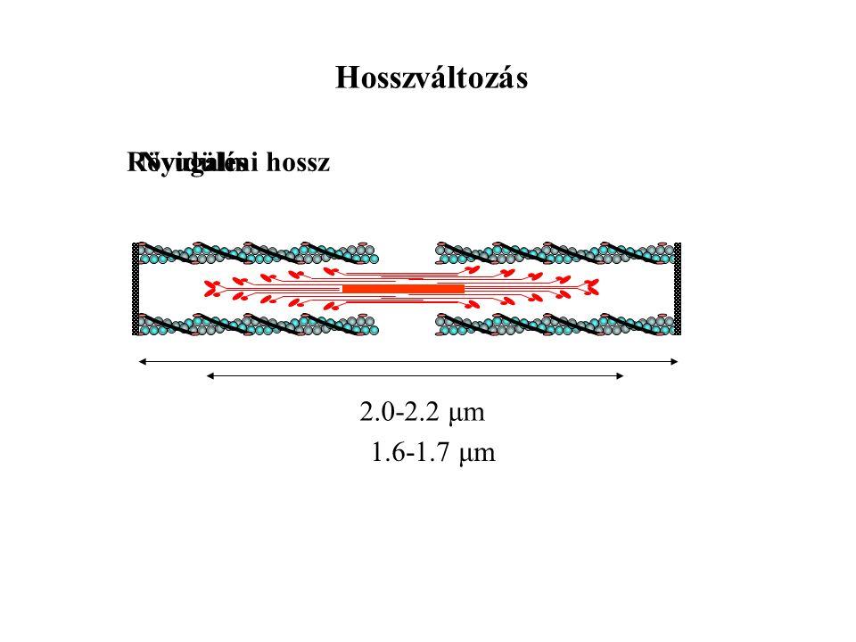 Hosszváltozás Rövidülés Nyugalmi hossz 2.0-2.2 μm 1.6-1.7 μm