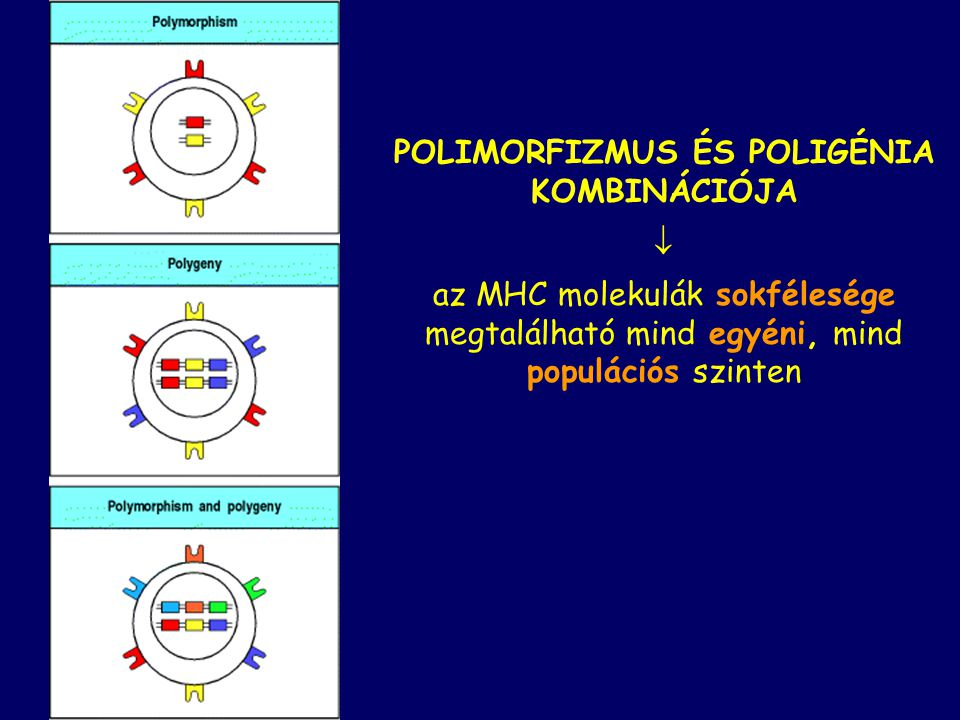 POLIMORFIZMUS ÉS POLIGÉNIA KOMBINÁCIÓJA