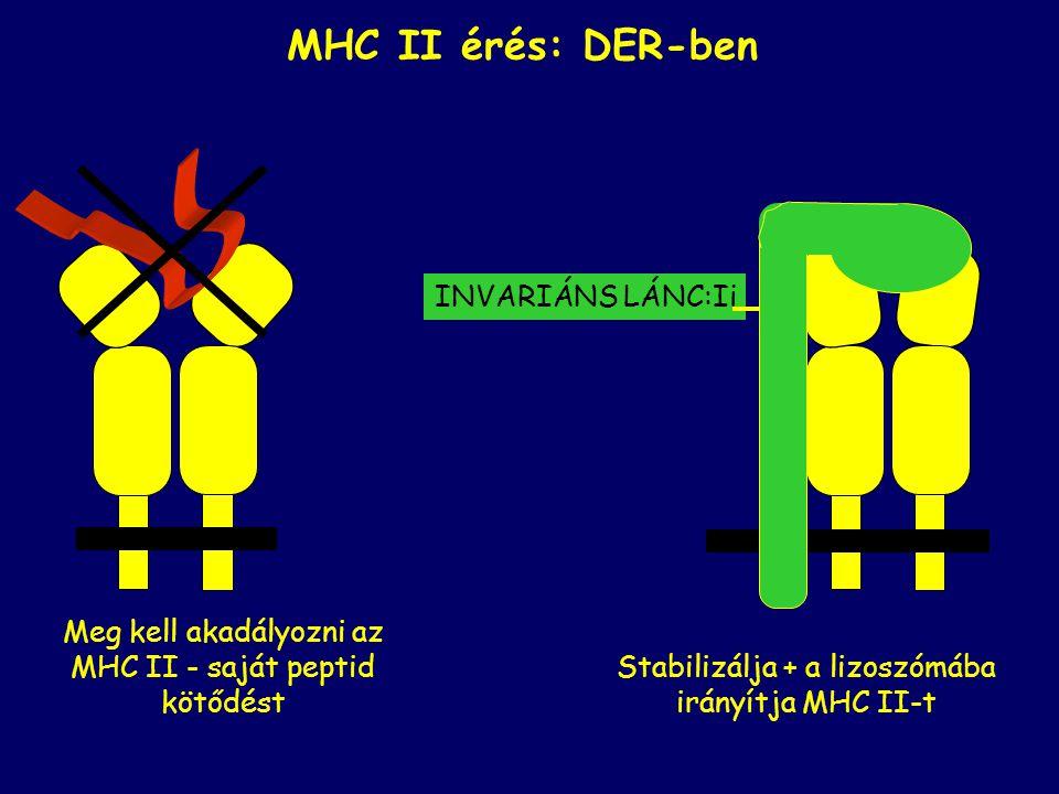 MHC II érés: DER-ben INVARIÁNS LÁNC:Ii