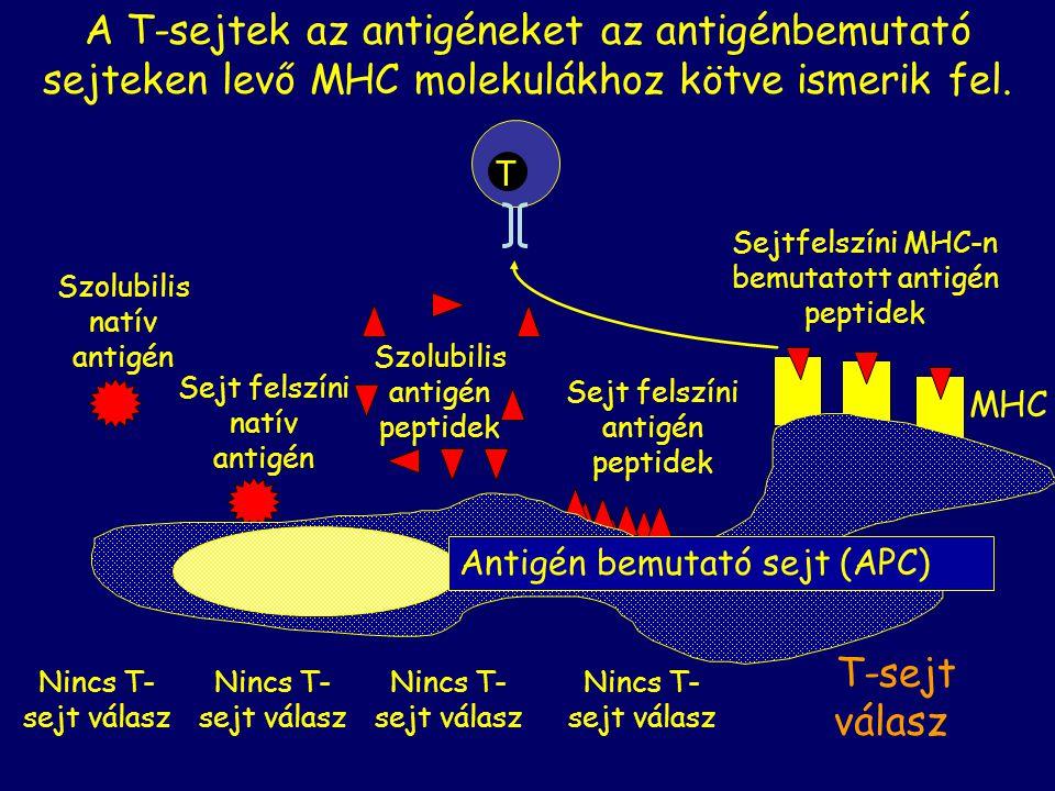 A T-sejtek az antigéneket az antigénbemutató sejteken levő MHC molekulákhoz kötve ismerik fel.