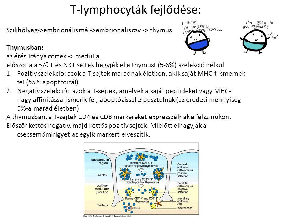 T-lymphocyták fejlődése:
