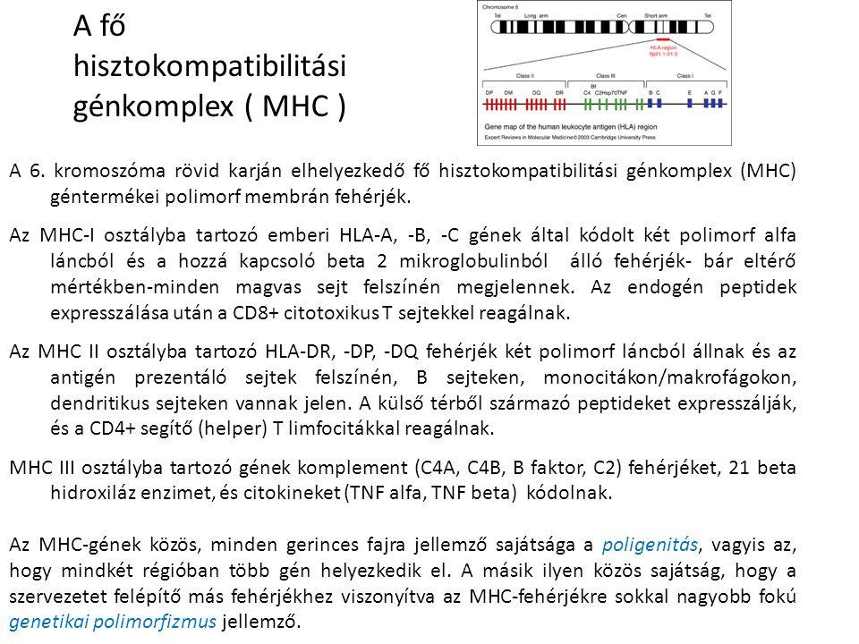 A fő hisztokompatibilitási génkomplex ( MHC )